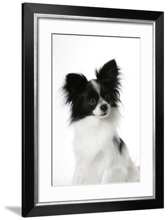 Papillon--Framed Photographic Print