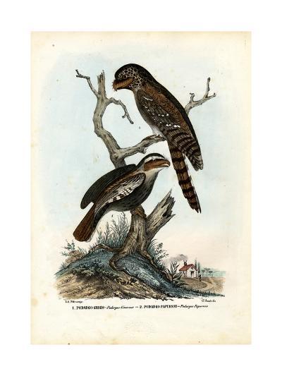 Papuan Frogmouth, 1863-79-Raimundo Petraroja-Giclee Print