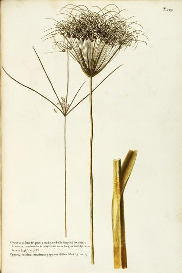 Papyrus Sedge or Paper Reed (Cyperus Papyrus)--Giclee Print