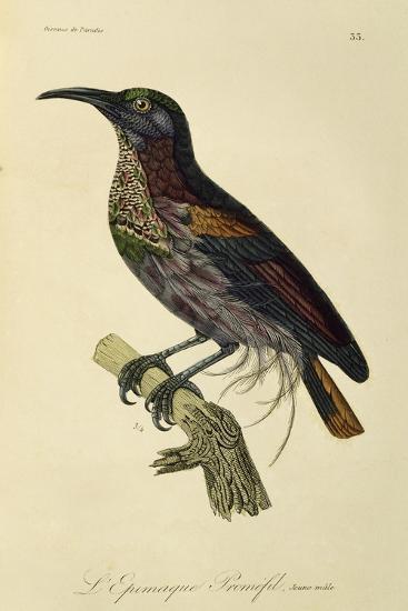 Paradise Riflebird Young Male (Ptiloris Paradiseus)--Giclee Print