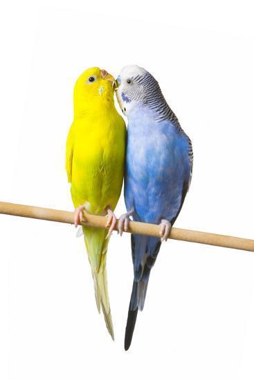 Parakeets--Photographic Print