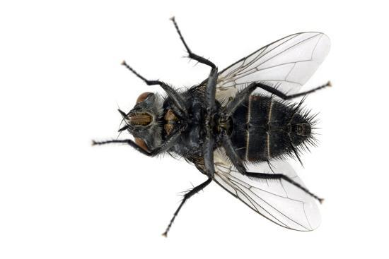 Parasitic Fly-Dr. Keith Wheeler-Photographic Print