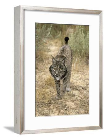 Pardel Lynx, Iberian Lynx