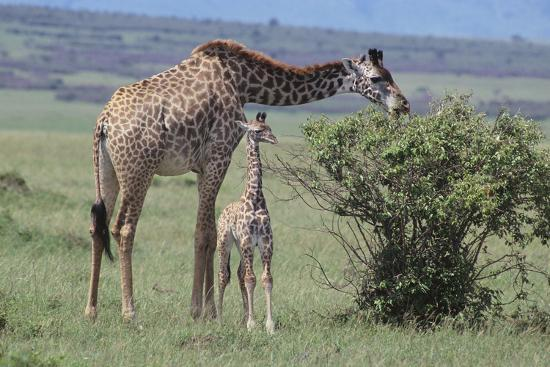 Parent and Young Giraffe-DLILLC-Photographic Print