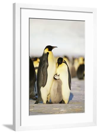 Parent Emperor Penguins with Chick-DLILLC-Framed Photographic Print