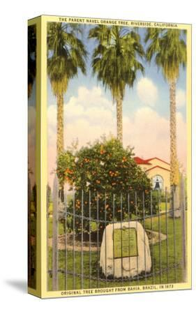 Parent Orange Tree, Riverside, California