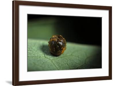 Parides Iphidamas (Iphidamas Cattleheart, Transandean Cattleheart) - Egg-Paul Starosta-Framed Photographic Print