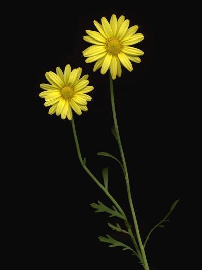 Paris daisies--Photographic Print