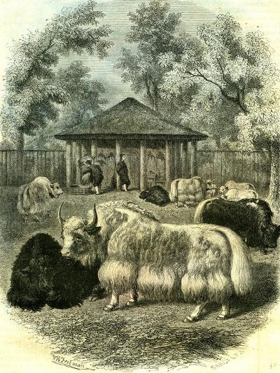 Paris Yaks 1854--Giclee Print