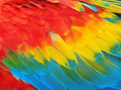 Parrot Feathers, Red and Blue Exotic Texture- Edelwipix-Photographic Print