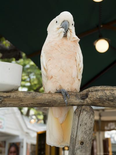 Parrot in Cafe, Duval Street, Key West, Florida, USA-R H Productions-Photographic Print