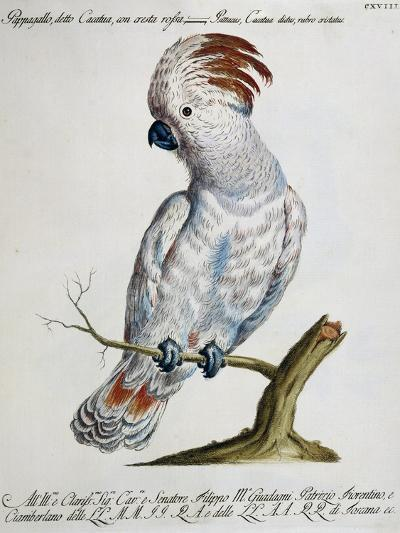 Parrot known as Red-Crested Cockatoo (Psittacus--Giclee Print