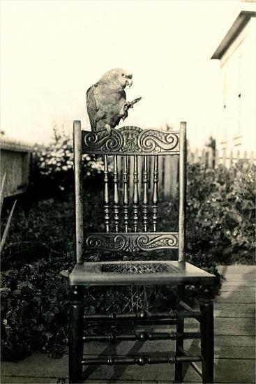 Parrot on Chair Back--Art Print