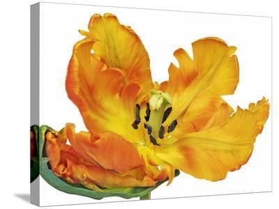 Parrot tulip close-up-Frank Krahmer-Stretched Canvas Print