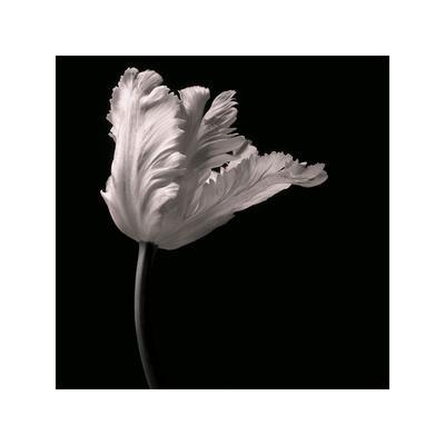 https://imgc.artprintimages.com/img/print/parrot-tulip_u-l-f8gj410.jpg?p=0