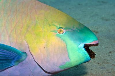 Parrotfish with Algae-Filled Teeth--Photographic Print
