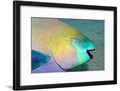 Parrotfish with Algae-Filled Teeth