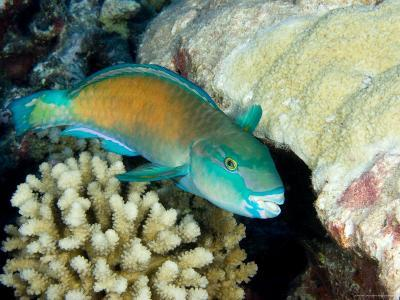 Parrotfish with Coral, Takapoto Atoll, French Polynesia-Tim Laman-Photographic Print