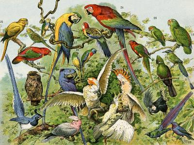 Parrots, Cockatoos, and Other Jungle Birds--Giclee Print