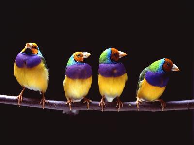 Parrots on a perch--Photographic Print