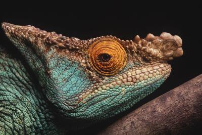 Parson's Chameleon on Branch-DLILLC-Photographic Print