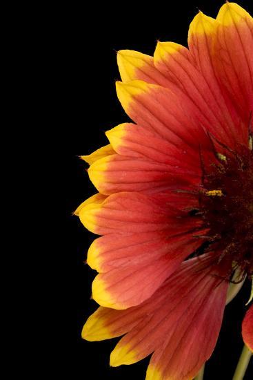 Part of a Fire Wheel Flower, Gaillardia Pulchella-Joel Sartore-Photographic Print