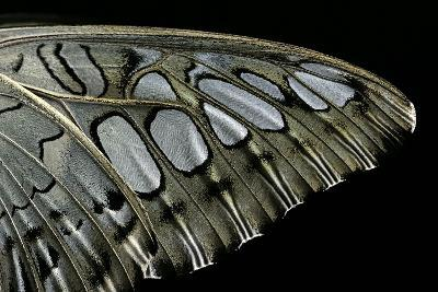 Parthenos Sylvia (Clipper Butterfly) - Wings Detail-Paul Starosta-Photographic Print