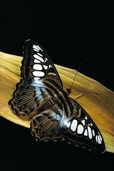 Parthenos Sylvia (Clipper Butterfly)-Paul Starosta-Photographic Print