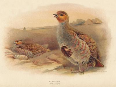 Partridge (Perdix cinerea), 1900, (1900)-Charles Whymper-Giclee Print