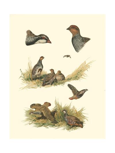 Partridge--Art Print