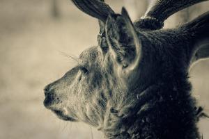 Deer Head, Closeup Shot. Toned by pashabo