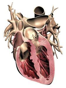 Human Heart, Anatomical Artwork by PASIEKA
