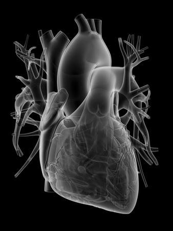 Human Heart, Anatomical Artwork