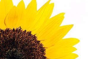 Sunflower by PASIEKA