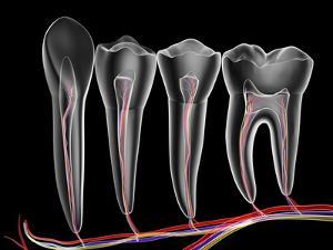 Teeth, Cross Section by PASIEKA