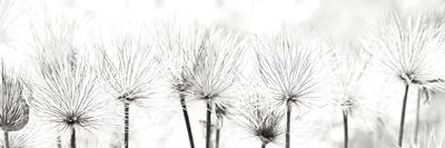 https://imgc.artprintimages.com/img/print/pasque-flower_u-l-f96z0v0.jpg?p=0