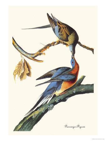 Passenger Pigeon-John James Audubon-Framed Art Print