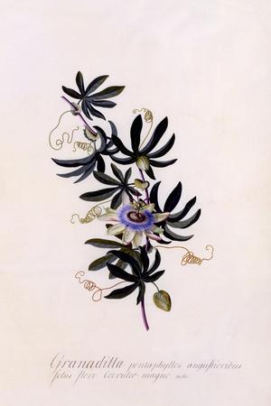 https://imgc.artprintimages.com/img/print/passiflora-granadilla-c-1745_u-l-pul4670.jpg?p=0
