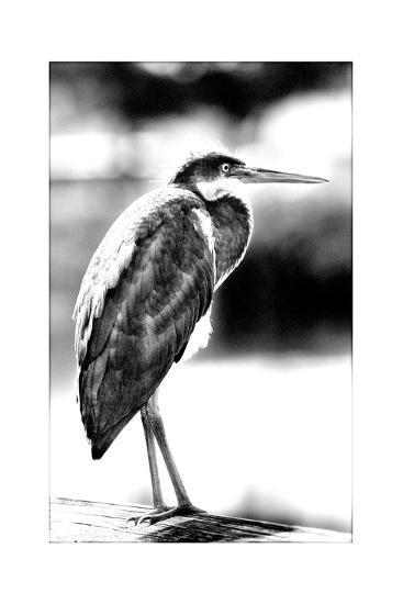 Passing Bird BW-Harold Silverman-Giclee Print