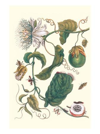 Passion Flower with Leaf-Footed Plant Bug-Maria Sibylla Merian-Premium Giclee Print