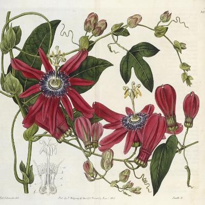 Passionflower, from 'The Botanical Register'-Sydenham Teast and John Edwards and Lyndley-Giclee Print