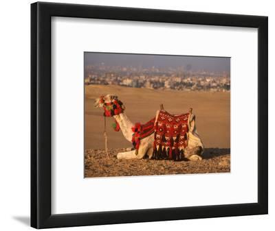 Camel Near Pyramids of Giza, Cairo, Egypt