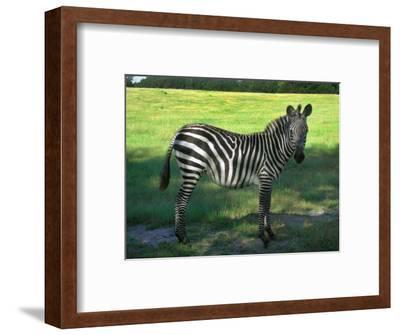 Zebra in Pasture, North Florida