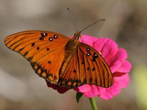 Passion Butterfly by Pat Sullivan
