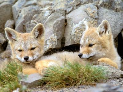 Patagonia Fox, Torres del Paine National Park, Chile-Gavriel Jecan-Photographic Print