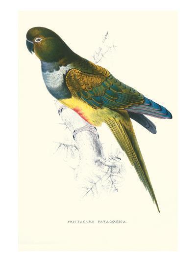 Patagonian Parakeet Macaw - Cyanoliseus Patagonus-Edward Lear-Art Print