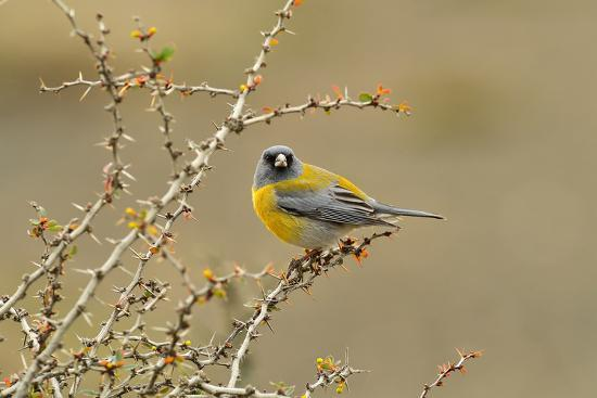 Patagonian Sierra Finch (Phrygilus patagonicus), Patagonia, Chile, South America-Pablo Cersosimo-Photographic Print