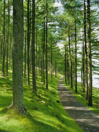 Path and Sunlight Through Pine Trees, Burtness Wood, Near