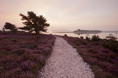 Path Running Through Common Heather, with Brownsea Island, Arne Rspb, Dorset, England, UK-Ross Hoddinott-Photographic Print