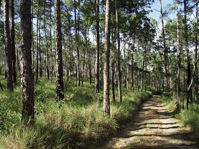 Path Through Pines, Mountain Pine Ridge, Belize, Central America-Upperhall-Photographic Print